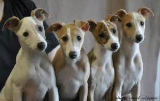 whippet puppies whippet puppies puppylove whippet puppies puppys and whippets
