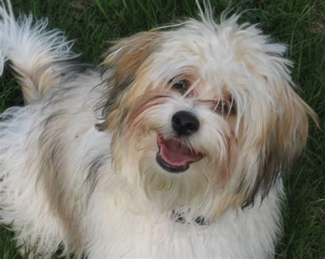 trails havanese image gallery havanese dogs