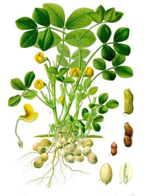 Arachis hypogaea   Wikipedia