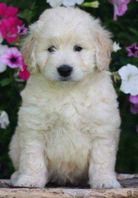 mini doodle dogs for sale ysopmie miniature goldendoodle puppies for sale