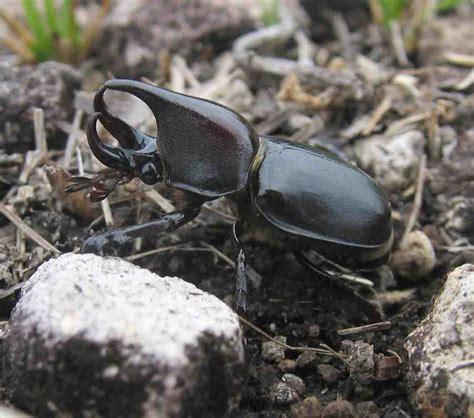 file rhinoceros beetle jpg wikimedia commons