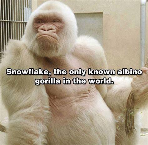 Albino Meme - albino gorilla funny pictures quotes memes jokes