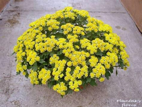 piante per giardino giapponese crisantemo giapponese piante perenni scopri il