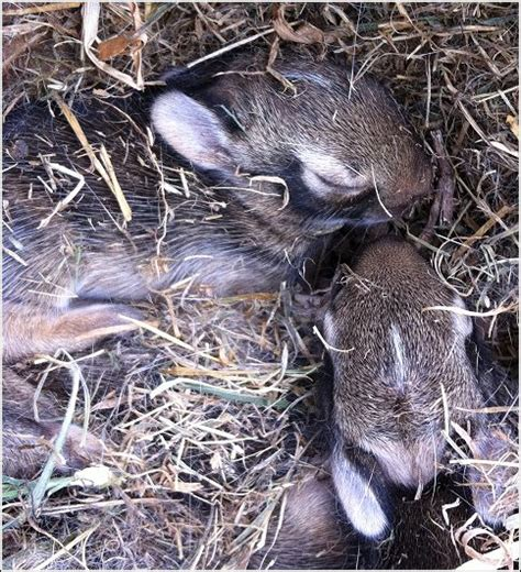 what to do with baby bunnies in backyard rabbits humane wildlife control oklahoma the skunk whisperer way