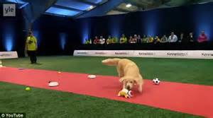 golden retriever obedience competition showing images for johnny test comic www nopeporn