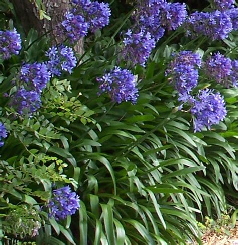 about agapanthus garden guides