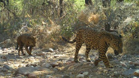 jaguar in arizona neogaf view single post let s talk about the big cats