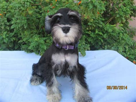 adoption cleveland ohio adopt a miniature schnauzer find dogs for adoption breeds picture