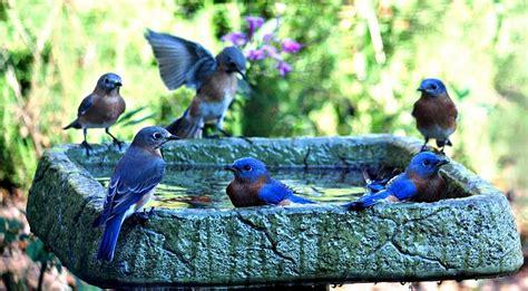 6 bluebirds bathing digital art by carrie obrien sibley