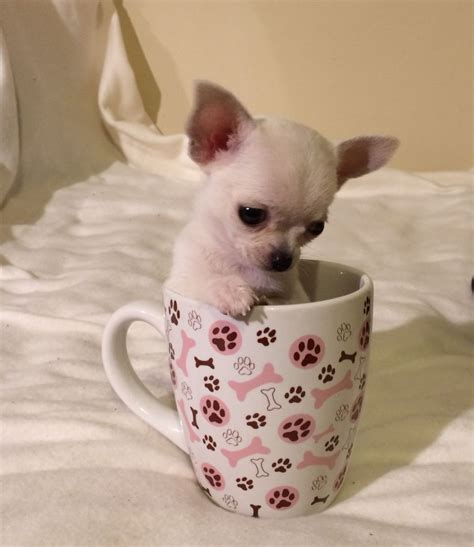 cup puppy tea cup chihuahua puppies west pets4homes