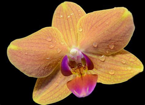 fiore orchidea fiore di orchidea foto immagini macro e up macro