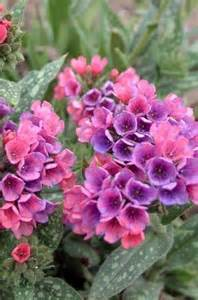 colorful shade plants walters gardens photo lungwort quot great perennials for