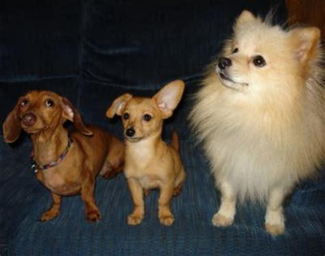 weiner pomeranian mix dachshund pomeranian mix photos thriftyfun