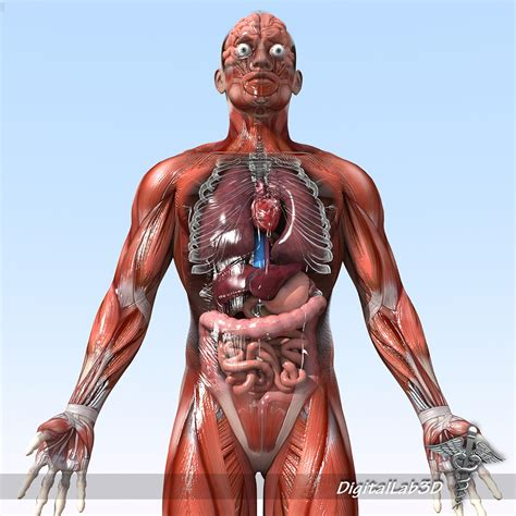 Human Anatomy rigged human anatomy 3d model