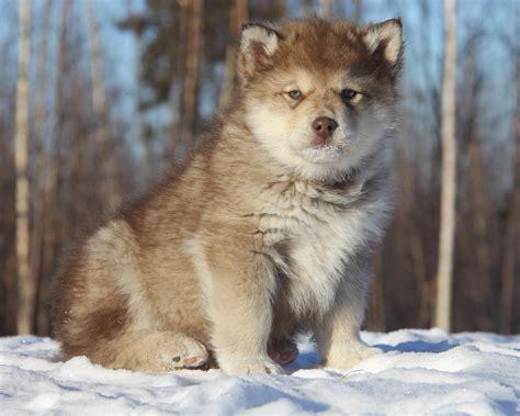 malamute wolf hybrid puppies malamute wolf dogs www imgkid the image kid has it