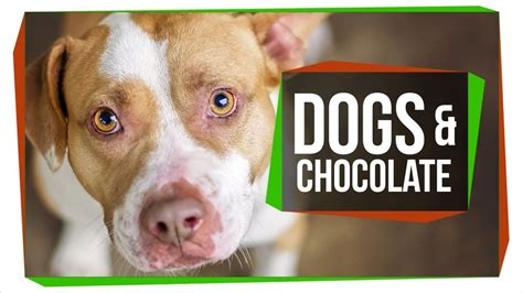 why cant dogs eat chocolate why can t dogs eat chocolate doovi