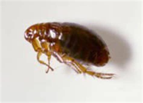 cat fleas vs fleas difference between fleas and nits fleas vs nits
