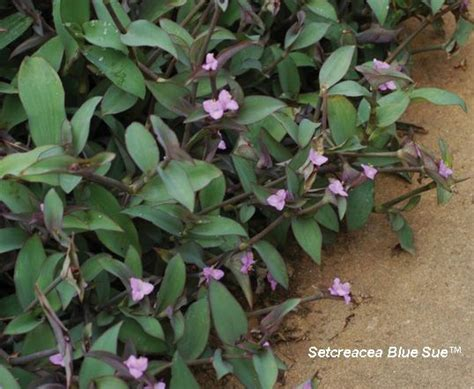 plants zone 7b sun and blooms summer to fall full sun to part shade zone 7b 11