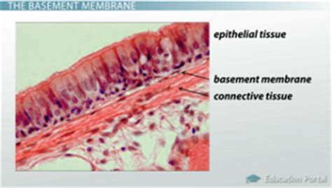 basement membrane epithelium adipose tissue and connective tissue functions and