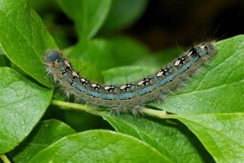 caterpillar blue blue caterpillar malacosoma disstria bugguide net