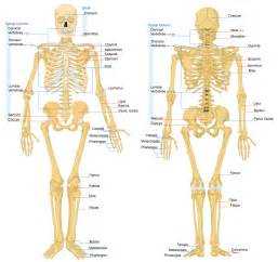 all bones in human body myideasbedroom com