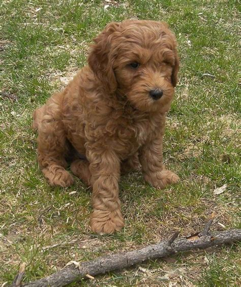 doodle puppy info 522 best images about poodle crossbreeds on