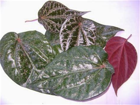 Kulit Pinang Warna Hijau manfaat dan khasiat daun sirih merah untuk kecantikan