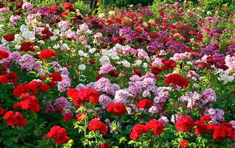 rose gardening rose garden in chandigarh sightseeing in chandigarh