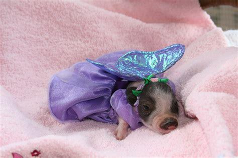 are teacup pugs real teacup pig sales australia