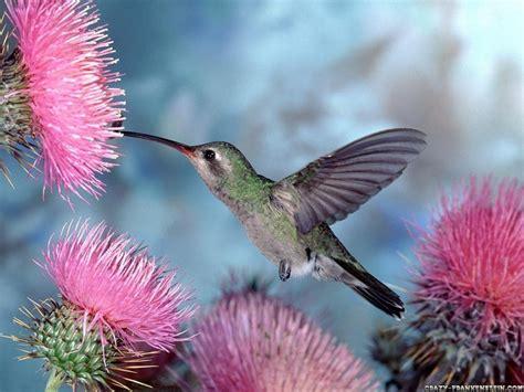high desktop wallpaper collection humming bird wallpaper