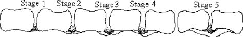 spondylosis in dogs tvs cauda equina and spondylosis sirius