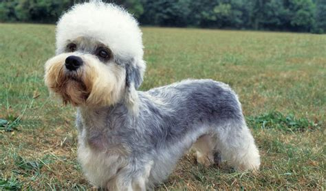 dandie dinmont terrier puppies dandie dinmont terrier breed information