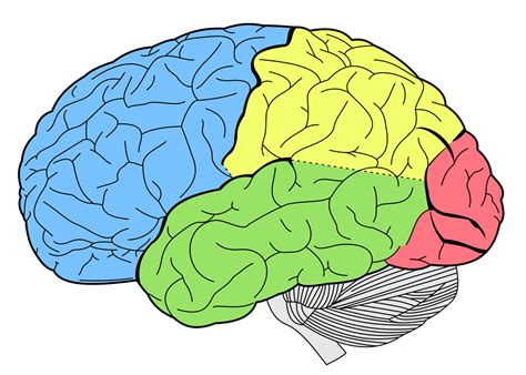 for the brain new study explains how your brain helps you learn new skills