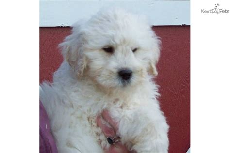 mini goldendoodles oregon miniature goldendoodle puppies oregon