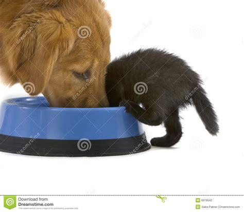 golden retriever puppies food kitten and golden retriever food stock photo