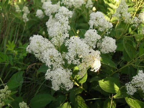 ceanothus americanus new jersey tea butterfly gardens to go