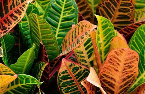 croton   grow  care  croton plants