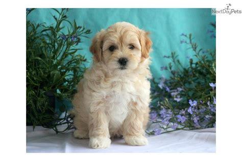 havapoo puppy meet ranger a havapoo puppy for sale for 595 ranger havapoo