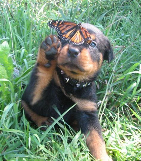 vicious rottweiler i puppys and rottweilers on
