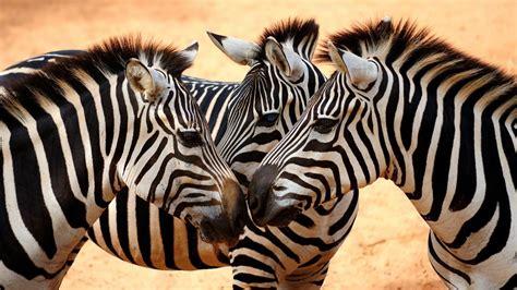 google wallpaper zebra zebra wallpaper android apps on google play