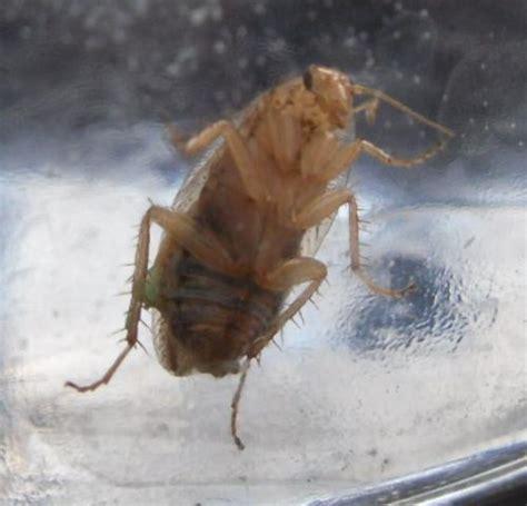ectobius sp blatte ou insecte jardin le monde des