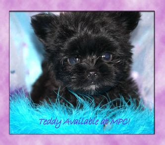teacup yorkies for sale in mississippi yorkie puppies for sale ms puppy connection breeds picture