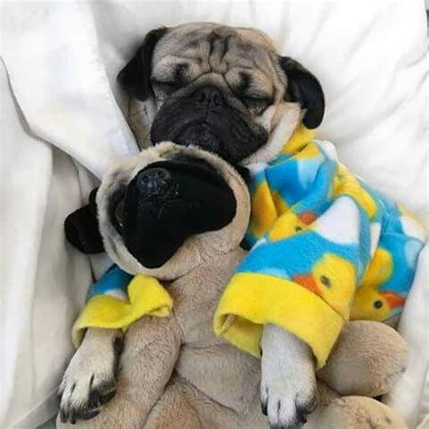 pug trembling 127 best doug the pug images on