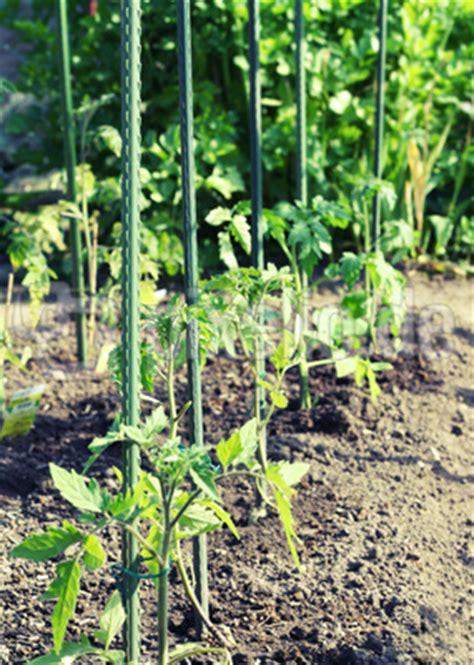 Tomaten Im Garten by Lizenzfreie Fotos Tomaten Pflanzen Im Garten Pixelio De