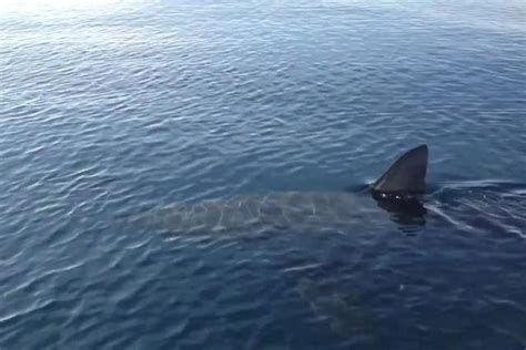 capitaneria porto messina messina avvistato squalo di 5 metri capitaneria