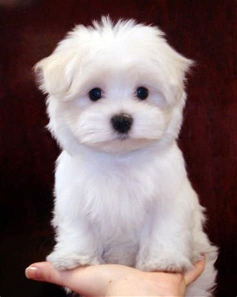 maltese poodle puppies for sale best 25 maltese poodle ideas on maltese poodle puppies maltese poodle