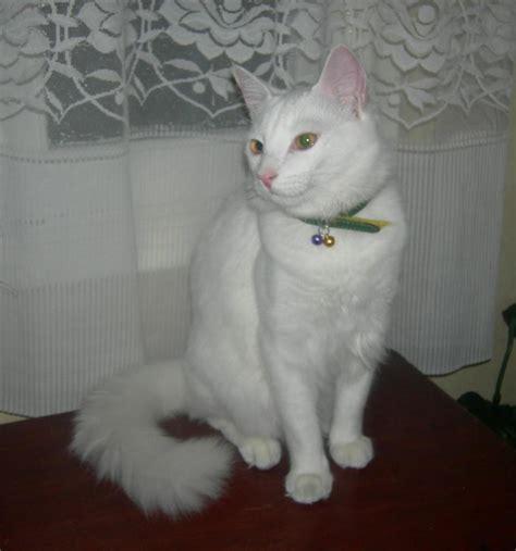 fotos de gatos gatos angora gemelos jpg pictures to pin on pinterest gatitos de angora con siames imagui
