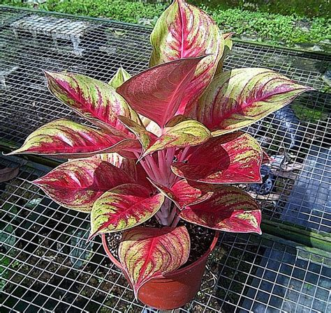 62 best images about aglaonema on valentines