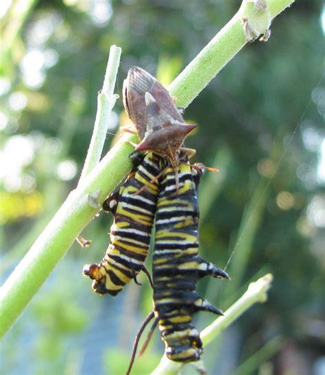 soldier bug monarch butterfly new zealand trust