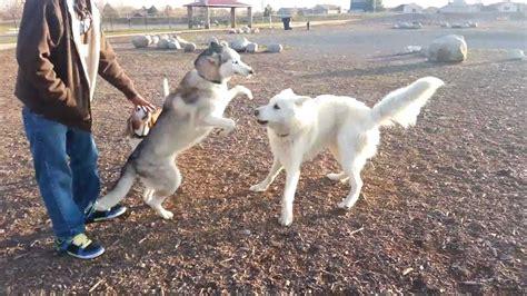wolf pomeranian hybrid white siberian husky wolf mix quotes